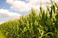 Corn flagged as particularly tight in terms of supply