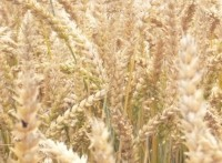 While the Oregon GM wheat incident appears to be an isolated one, it has already prompted a temporary block on imports of US white wheat from Japan, Korea and Taiwan and a string of lawsuits against Monsanto