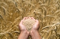 Researchers make 'great strides' in health benefits of ancient wheat